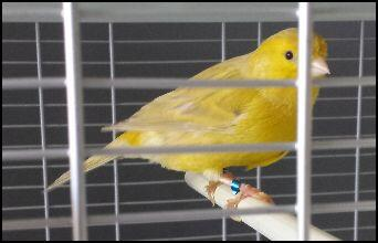 Onbekende gele kanarie (foto: De Hereniging)