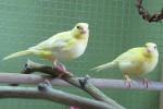 Gele Kanaries